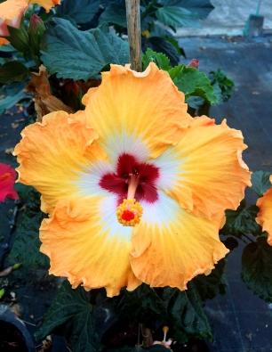 hibiscus-sibisse1-catalogo