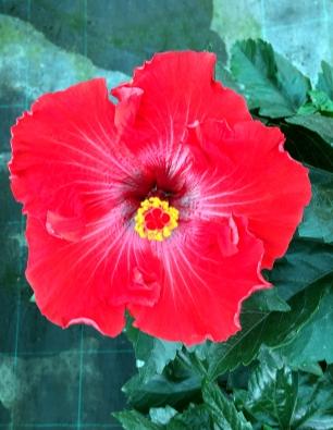 hibiscus-tamilla-catalogo