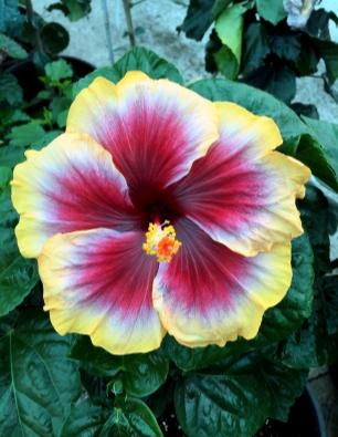 hibiscus-tegueste-catalogo