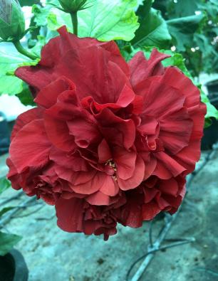 hibiscus-tejina-catalogo