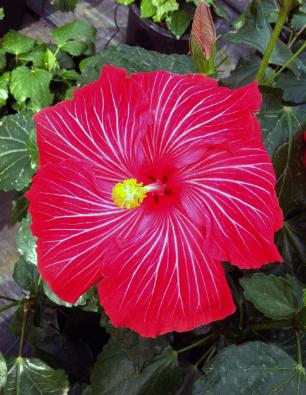 hibiscus-teneguia-catalogo