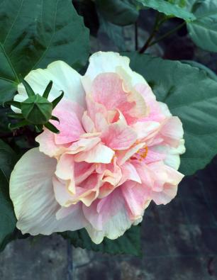 hibiscus-thaysa-catalogo