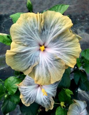 hibiscus-tinguaro-catalogo