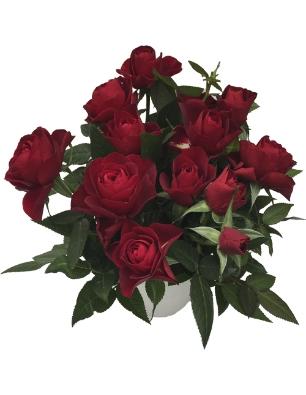 rosa Tatjana catalogo