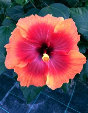 hibiscus-timanfaya-catalogo