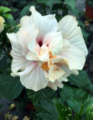hibiscus-yaiza-catalogo