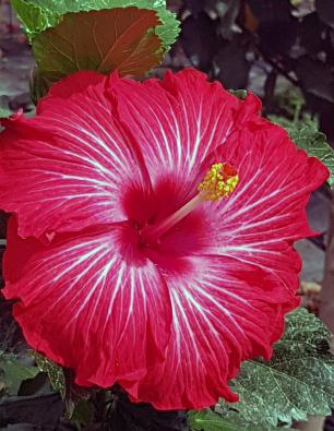 hibiscus-yubisay-catalogo